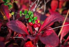 Het plukken bessenamerikaanse veenbessen in de herfst Stock Foto
