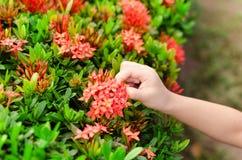 Het plukken bloembloemblaadjes in de tuin royalty-vrije stock afbeeldingen