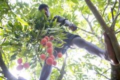 Het plukken de litchivruchten, riepen plaatselijk Lichu bij thakurgoan ranisonkoil, Bangladesh stock foto