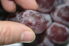 Het plukken druiven 2 Royalty-vrije Stock Foto's