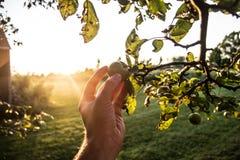 Het plukken Groene Appelen Stock Afbeeldingen