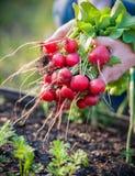 Het plukken groenten Royalty-vrije Stock Foto's