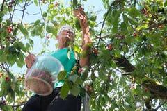 Het plukken kersen in boom stock foto's