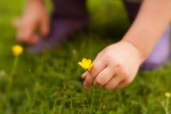 Het plukken kleine gele bloem in de lente stock afbeeldingen