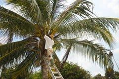 Het plukken kokosnoten Stock Fotografie