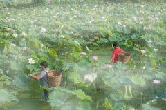 Het plukken Lotus Royalty-vrije Stock Afbeeldingen