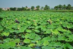 Het plukken lotusbloem Stock Foto