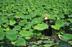 Het plukken lotusbloem Stock Foto's