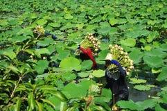 Het plukken lotusbloem Royalty-vrije Stock Foto