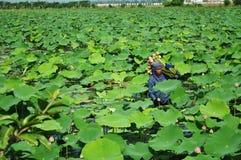 Het plukken lotusbloem Stock Fotografie