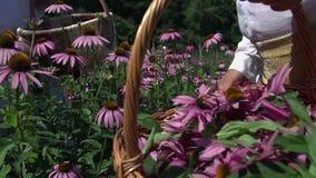 Het plukken mooie bloemen stock videobeelden