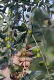 Het plukken olijven stock foto