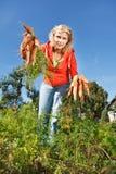Het plukken organische wortelen Stock Foto