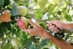 Het plukken rijpe appelen in een huistuin stock foto's