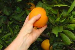 het plukken rijpe sinaasappelen Royalty-vrije Stock Foto's