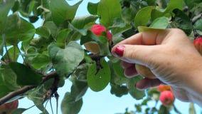 Het plukken rode appel van een boom in de zomer stock footage