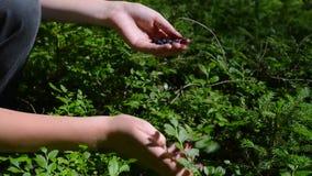 Het plukken struik van de vrouwenhanden van het bosbessenclose-up de Kaukasische stock footage