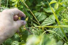 Het plukken van één van het fruit Stock Fotografie