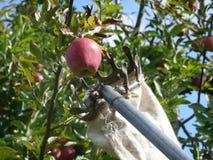 Het Plukken van Apple Royalty-vrije Stock Fotografie