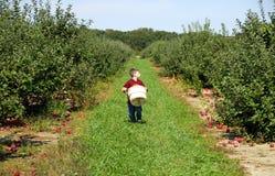 Het Plukken van de appel Royalty-vrije Stock Afbeeldingen