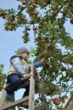 Het plukken van de appel royalty-vrije stock foto