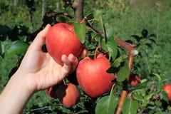 Het plukken van de appel Royalty-vrije Stock Fotografie