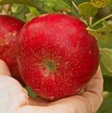 Het plukken van de appel Royalty-vrije Stock Afbeelding