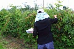 Het Plukken van de Arbeider van het landbouwbedrijf Fruit royalty-vrije stock fotografie
