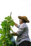 Het Plukken van de landbouwer Snijboon Royalty-vrije Stock Afbeelding