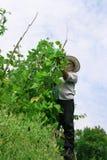 Het Plukken van de landbouwer Snijboon Stock Fotografie