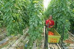 Het plukken van de landbouwer tomaat Stock Foto's