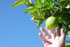 Het plukken van de mens citroenen Stock Foto's