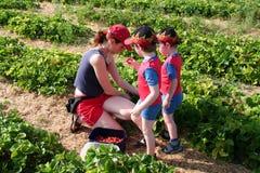 Het plukken van de moeder aardbeien met haar zonen Stock Afbeeldingen