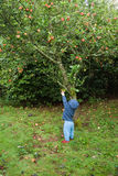 Het plukken van de peuter appelen Stock Afbeelding