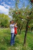Het plukken van de vader en van de zoon appelen Stock Foto