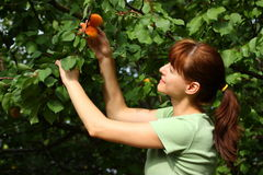Het plukken van de vrouw abrikozen Stock Foto