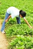 Het plukken van de vrouw groente bij gebied Stock Foto