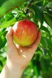 Het plukken van een appel Royalty-vrije Stock Foto's