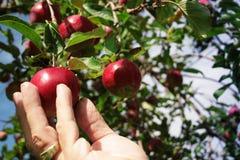 Het plukken van een appel Royalty-vrije Stock Fotografie