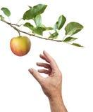 Het plukken van een appel Witte achtergrond Stock Afbeelding