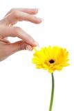 Het plukken van een bloemblaadje stock fotografie