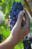 Het plukken van een bos van druiven royalty-vrije stock afbeelding