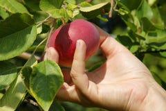Het plukken van een mooie rode appel van de boom Royalty-vrije Stock Afbeelding