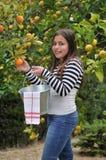 Het plukken van het meisje sinaasappelen royalty-vrije stock afbeelding