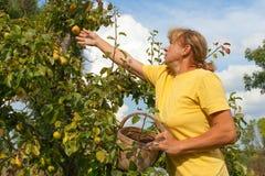 Het plukken van peren. stock fotografie