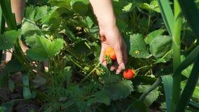 Het plukken verse organische aardbeien in de tuin stock footage