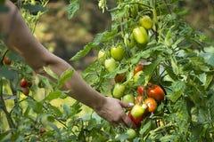 Het plukken verse tomaten Stock Foto's