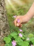 Het plukken wilde bloemen Royalty-vrije Stock Afbeelding