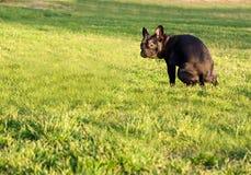 Het pooping van de hond Stock Foto