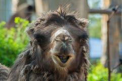 Het portret is één kameel donkere bruine kleur, bekijkt het wijfje de camera Royalty-vrije Stock Foto's